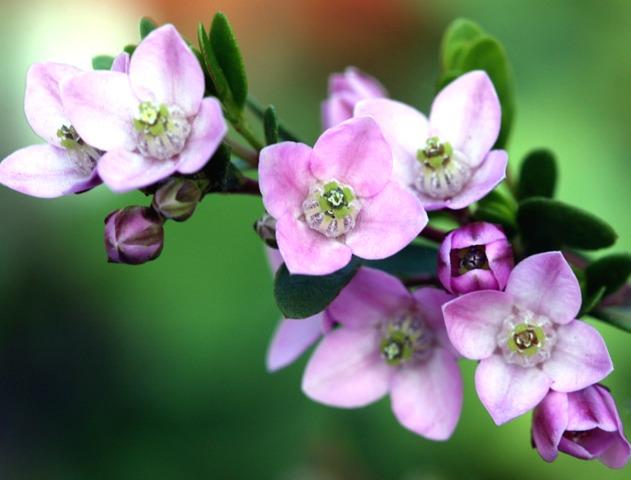 Boronia crenulata : plantation, culture, entretien