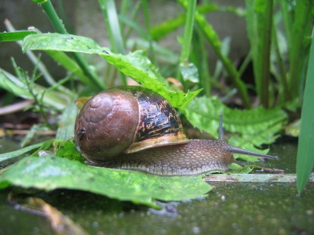 Escargots et limaces : se protéger