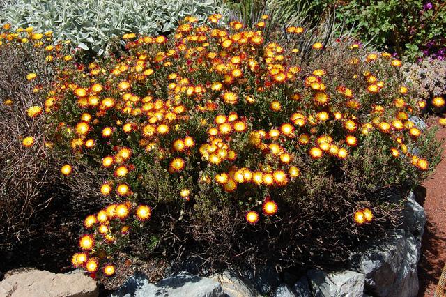 Drosanthemum speciosum 'Pele' (ficoïde)