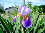Iris des jardins, iris barbus