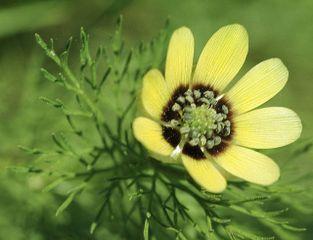 Adonis aestivalis var. citrinus