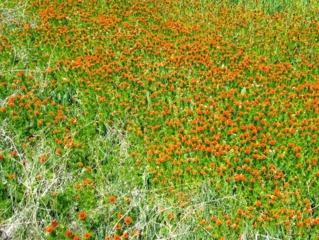 Adonis aestivalis dans un champ agricole