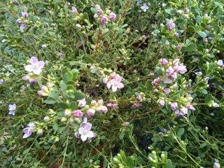Boronia crenulata - fleurs et feuillage