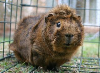 Le cochon d'Inde : un animal parfait pour les enfants
