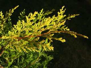 Cupressocyparis leylandii 'Castlewellan Gold'