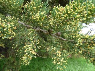 Cupressus macrocarpa : cônes et chatons