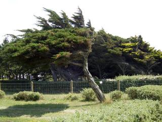 Cupressus macrocarpa, cyprès de Lambert exposé au vent