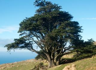 Cyprès de Lambert, Cupressus macrocarpa : plantation, culture
