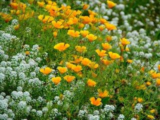 Tapis de Pavot de Californie (Eschscholtzia californica) et d'Alysse odorante (Alyssum maritimum)