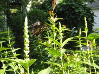 Galane blanche butinée par un papillon