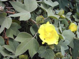 Gossypium tomentosum - Fleur