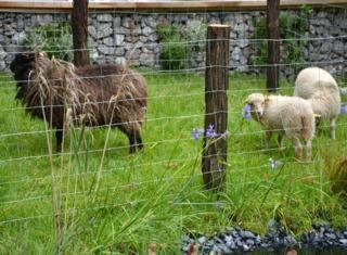Moutons dans un enclos