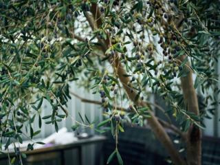 Olivier en pot portant des olives