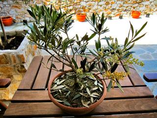 Petit olivier en pot : futur bonsaï ?