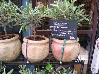 Petits oliviers en pot