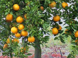 Oranger planté en pleine terre