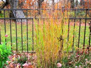 Panicum virgatum 'Shenandoah' en automne