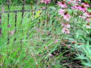 Panicum virgatum 'Shenandoah' et Echinacea