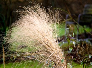 Panicum virgatum : inflorescences sèches en hiver
