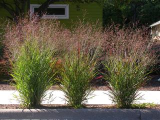 Panicum : plantation, culture, espèces et variétés