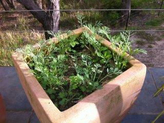 Semis de pavots de Californie en pot