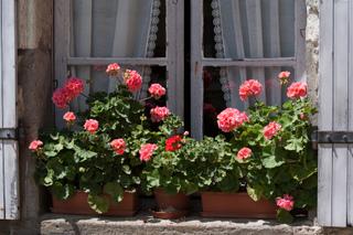 Pélargoniums au bord d'une fenêtre