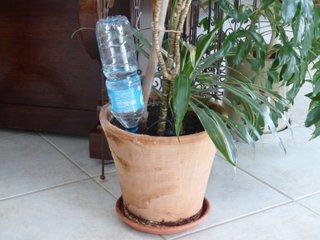 Plante en pot avec un goutteur bouteille