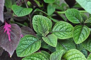 Plectranthus purpurea