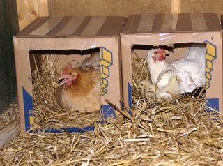 Poules couveuses dans leurs nids