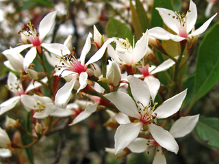 Rhaphiolepis : plantation, culture, espèces et variétés