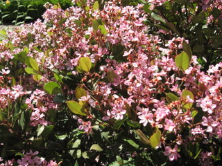 Rhaphiolepis indica 'Springtime'