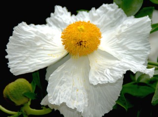 Pavot en arbre, Romneya coulteri : plantation, culture