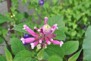 Salvia involucrata bethelii