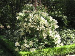 Schizophragma hydrangeoides : plantation, culture et entretien