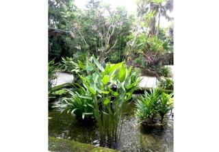 Thalia dealbata dans un bassin