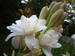 Tubéreuse à fleurs doubles