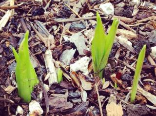 Pousses de tubéreuse au printemps