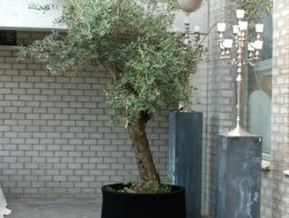 Vieil olivier cultivé en pot