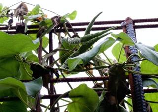 Fruits de wattakaka
