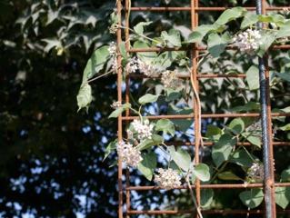 Wattakaka (Dregea sinensis)