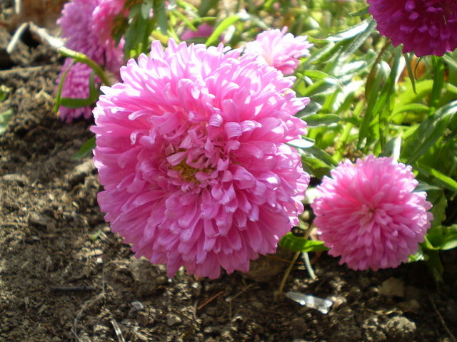 Reine-marguerite : semis, culture, variétés