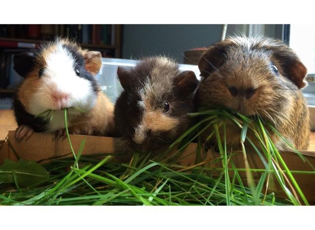 L'alimentation du cochon d'Inde : aliments conseillés ou interdits