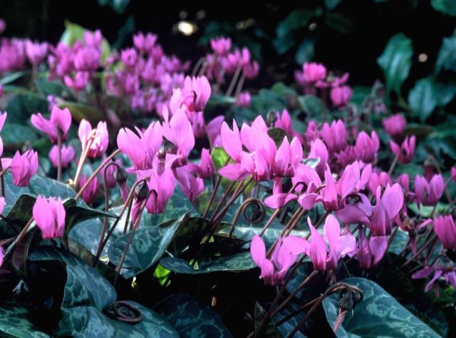 Cyclamens : espèces, époques de floraison, au jardin ou à l'intérieur