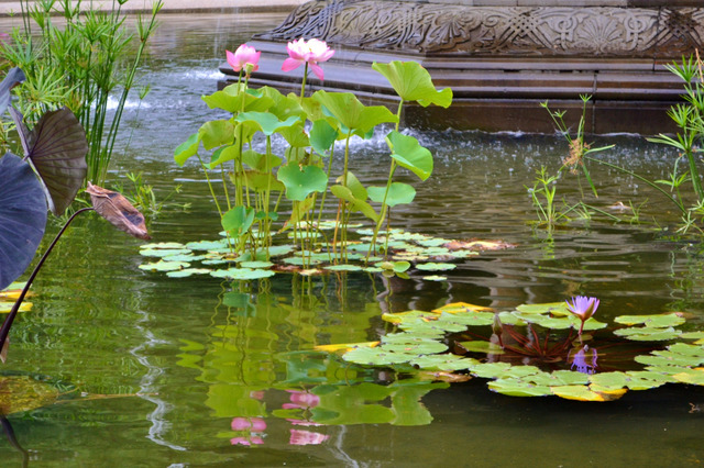 Lotus bassin tout for Bassin eau jardin