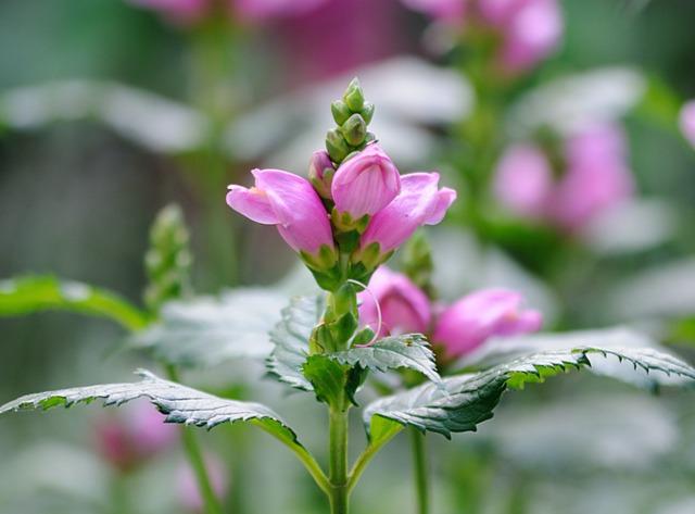 Galane oblique, Chelone obliqua : plantation, culture et variétés