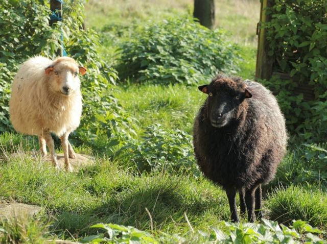 Chèvres et moutons pour tondre les espaces verts : l'écopâturage