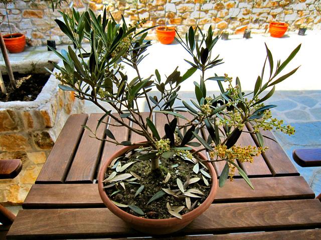quand planter olivier en pot. Black Bedroom Furniture Sets. Home Design Ideas