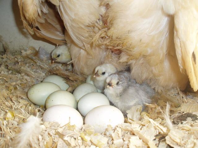 Elever des poussins : chaleur, nid, croissance