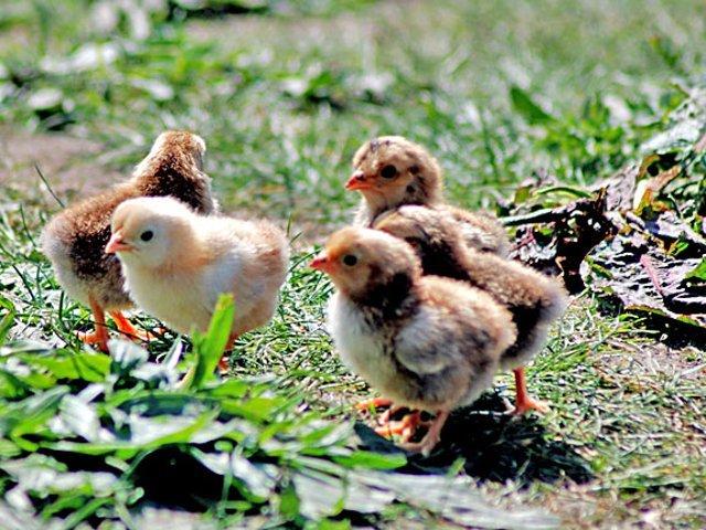 Comment avoir des poussins coq incubation poule couveuse - Avoir des poules dans son jardin ...