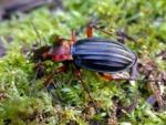 Les carabes, des insectes auxiliaires bien utiles au jardin